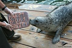 Today (September 14) is Barney's (harbor seal at the Seattle Aquarium) 27th birthday!