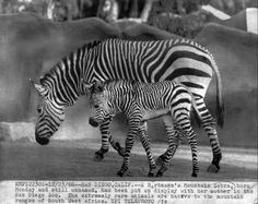 1966 MOTHER & BABY ZEBRA SAN DIEGO ZOO WIRE Photo — in San Diego.