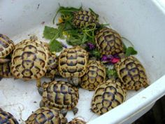 Care Guide Sheet for your Horsefield/Russian Tortoise!   More info at: http://www.horsefieldtortoise.co.uk/care-guide-sheet