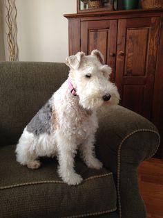 Winnie, my Wire fox terrier ❤️❤️❤️