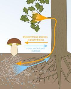 Organic Fertilizer, Organic Gardening, Fungi, Soil Improvement, Plant Science, Growing Seeds, Photosynthesis, Edible Garden, Green Life