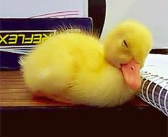 SLEEPING BABY DUCK GIFS. | Don't Be Sad, Look At These Baby Ducks