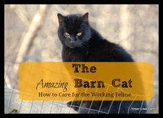 Barn cats are common additions to many farmyards. Do you know the care and nutritional needs that will keep your barn cats healthy enough for chasing mice?:
