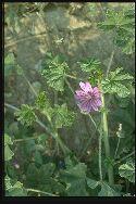 plante adulte Mauve sylvestre