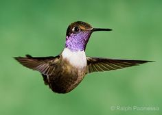 Purple-throated Woodstar - Ecuador, Pacific slope, 5700-ft - Ralph Paonessa Photography Workshops