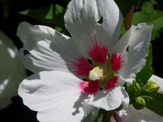 Pretty in White, Rose of Sharon  by Yvette Gaudreau... Love the pink center that almost looks like paint splatters.