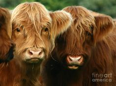 Highland cattle- long hairs