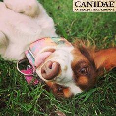 Canidae Canine