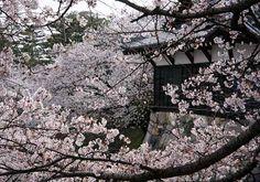 追手門東隅櫓の桜