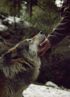 I love wolves so much.