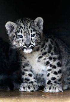 Snow leopard cub :) cute!