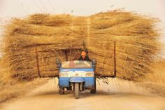 Just harvested reeds transported through the wetlands of the Liaohe River delta near Panjin City in China's Liaoning Province. (European Pressphoto Agency)