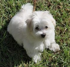 Marshmallow the Maltese #Maltese