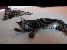 Roomba ile evcil hayvanlarınızın dostluğu paha biçilmez! Şu Bengal kedisine bakın..