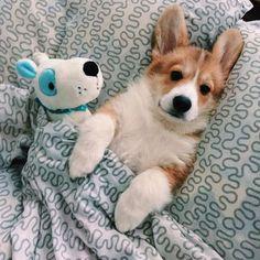 Cute Dogs And Puppies Corgi Cute Corgi Puppy, Corgi Dog, Cute Dogs And Puppies, I Love Dogs, Pet Dogs, Wiener Dogs, Cute Funny Animals, Cute Baby Animals, Funny Dogs