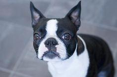 Rosie, Boston Terrier, Kayleigh McCallum, via Flickr