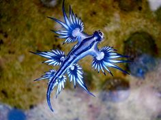 Glaucus atlanticus, or blue sea slug, They spend their lives upside down, attached to the surface of the water and floating along at the mercy of the winds and ocean currents. Blue in color, they blend in with the water in order to camouflage themselves within their environment. And though petit, these baby dragons are also dangerous