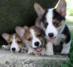 Corgi Puppies <3