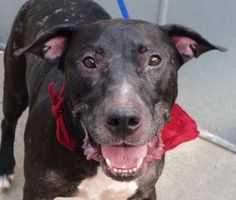 Safe ❣ TYSON – A1085170  **HISTORY OF SEIZURES**  NEUTERED MALE, BLACK / WHITE, MASTIFF / AM PIT BULL TER, 7 yrs OWNER SUR – ONHOLDHERE, HOLD FOR ID Reason PET HEALTH Intake condition EXAM REQ Intake Date 08/12/2016, From NY 10467, DueOut Date 08/12/2016,