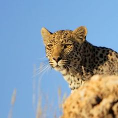 Kgalagadi Leopard Project. African Animals, African Safari, Spotted Cat, Wild Nature, Safari Animals, Heartland, My Animal, Beautiful Creatures, South Africa