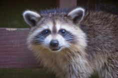 Rosie Raccoon Smiling by fivecats @ Flickr - Photo Sharing!