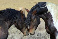 wild, horses, wyoming, wild mustangs, by Steepinstars, via pixabay