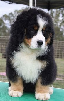 Baby Bernese Mountain Dog Puppy - Belezza,animales , salud animal y mas Cute Dogs And Puppies, Baby Puppies, Baby Dogs, Beautiful Dogs, Animals Beautiful, Burmese Mountain Dog Puppy, Cute Baby Animals, Animals And Pets, Bernese Puppy