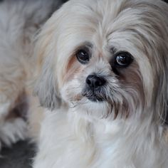 Lhasa Apso - reminds me of my sweet Peekaboo.