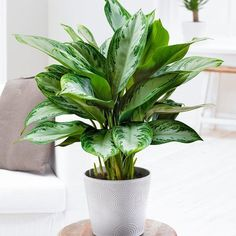 Buy Chinese evergreen Aglaonema 'Jubilee Compacta (PBR)': Delivery by Waitrose Garden in association with Crocus Best Indoor Plants, Indoor Planters, Diy Planters, Chinese Evergreen Plant, Popular House Plants, Snake Plant Care, Decoration Plante, House Plants Decor, Bedroom Plants