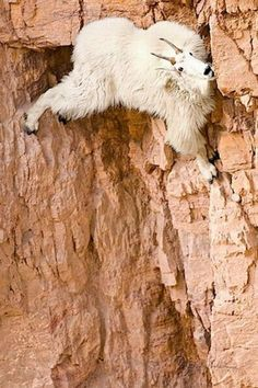 Goat on the rock wall !!!