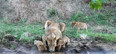 Lion Cubs Take a Drink