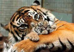 Mom Tiger Hugging Her Baby