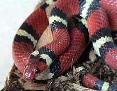 Kingsnake - Wikipedia, the free encyclopedia