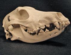 Afghan Hound Skull