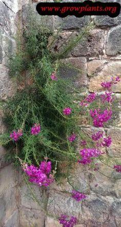 ANTIRRHINUM LIPSTICK SILVER SNAPDRAGON FLOWER SEEDS 30 LONG LASTING ANNUAL