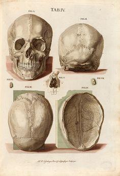 Plate 4 from Tabulae osteologicae by Christoph Jacob Trew Anatomy Bones, Skull Anatomy, Skeleton Anatomy, Human Anatomy Art, Face Anatomy, Anatomy Drawing, Antique Illustration, Medical Illustration, Anatomy Reference