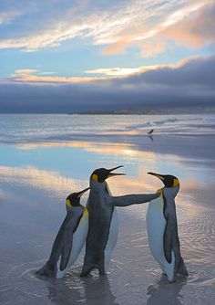 Penguins Arguing!! http://www.thesun.co.uk/sol/homepage/features/4210999/Focus-on-astonishing-beauty-of-wildlife-pics.html