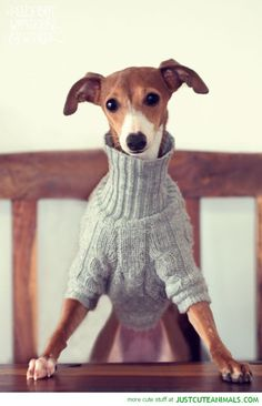 Aww look at this Italian Greyhound wearing a turtleneck. It's so sweet.