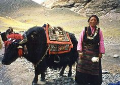 Tibetan Lady with her Yak - I seems that they paint the Horns of their Yaks in original colors and/or designs - possibly for identification or as an accessory..