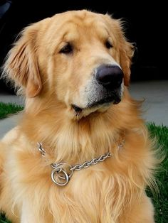 Goldens are love in its purest form!
