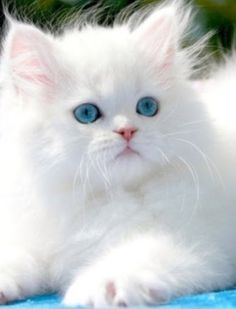 Adorable white fluffy kitten! <3