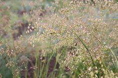 common quaking grass Briza media