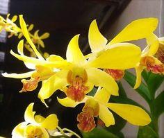 Orquídea Denphal Yellow -