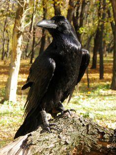 Stately Raven