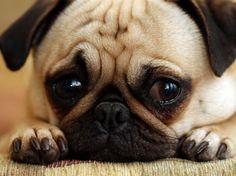 petit chien carlin mignon