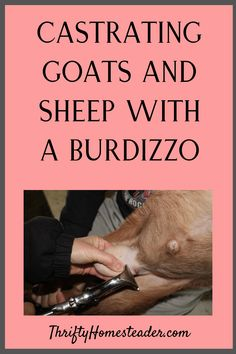 Got bucklings that need to be castrated? This post is about why, after trying all three castration options, we've settled on using a Burdizzo, which is bloodless. We also created a video of a Burdizzo castration, which is included at the end of the blog post.I wrote a post about why, after trying all three castration options, we've settled on using a Burdizzo, which is bloodless. We also created a video of a Burdizzo castration, which is included at the end of the blog post. Breeding Goats, Goat Care, Raising Goats, Baby Goats, Sheep, Homestead, Farm Life, Blog, Animals