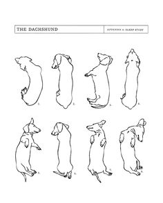 Dachshund Sleep Study. Sketches of my pet dachshund's sleeping positions. Art…