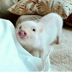 House Trained TeaCup Pigs World Wide So Cute Baby, Cute Baby Pigs, Cute Piglets, Baby Animals Super Cute, Cute Little Animals, Cute Funny Animals, Cute Babies, Funny Cats, Baby Animals Pictures