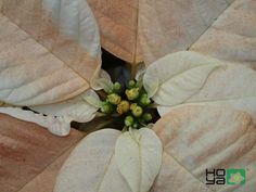 Poinsettia, Competition, Plant Leaves, Lovers, Plants, Plant, Planets