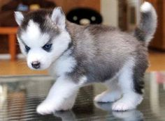 Siberian Husky Dogs and Puppies - Things You Should Know If You Have A Dog >>> Check out the image by visiting the link. Cute Husky Puppies, Pomsky Puppies, Siberian Husky Puppies, Siberian Huskies, Pomeranian Husky For Sale, Blue Eyed Husky Puppy, Rottweiler Puppies, Adorable Puppies, Miniature Husky